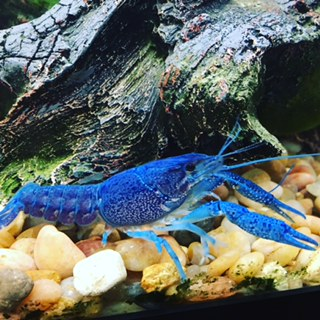 Can Crayfish Get Out of a Tank
