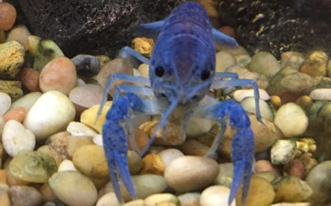 Electric Blue Crayfish Care