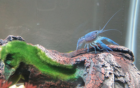 how to tell if your crayfish is about to molt