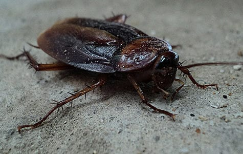 exotic pet cockroaches