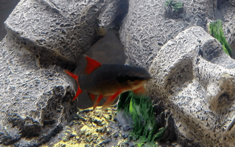 blue crayfish with red tail shark