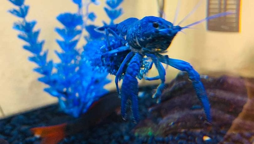 Blue Crayfish The Ultimate Care Guide For Pet Blue Crayfish 2020